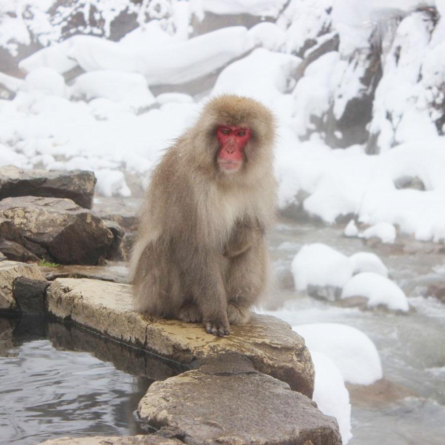 สวนลิงจิโกคุดานิ